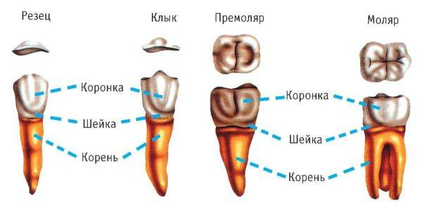 строение зуба человека