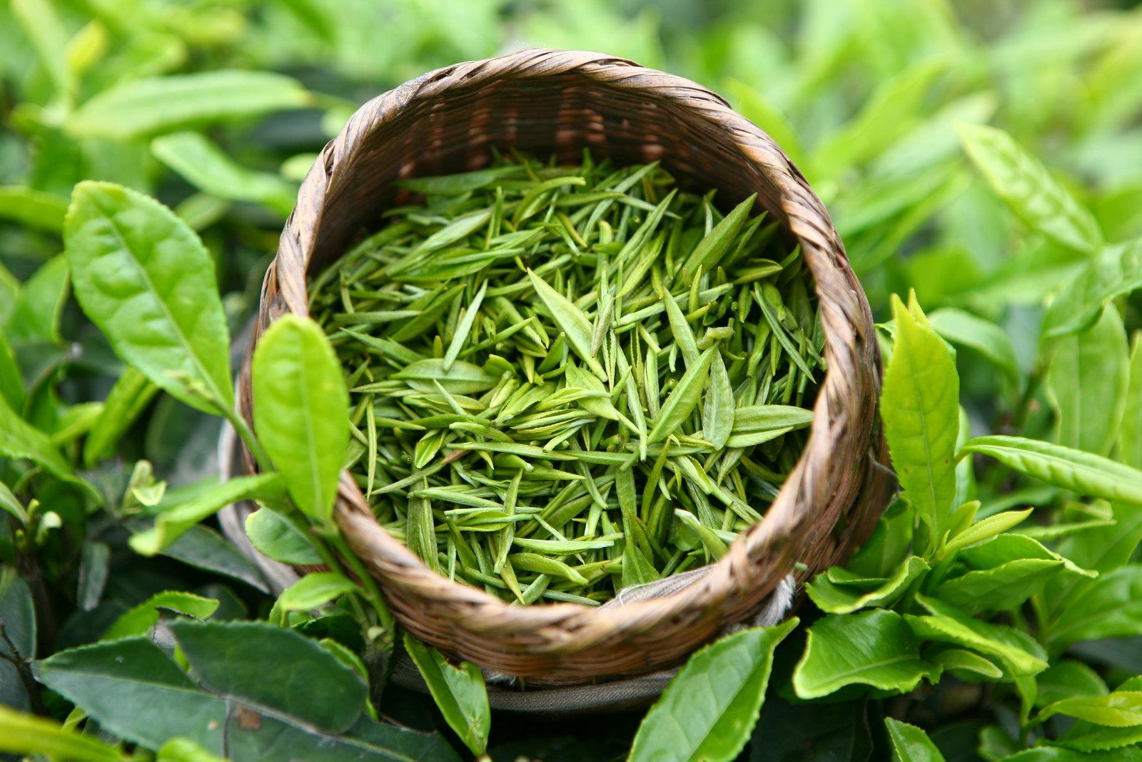 zelenyj-chaj-listya